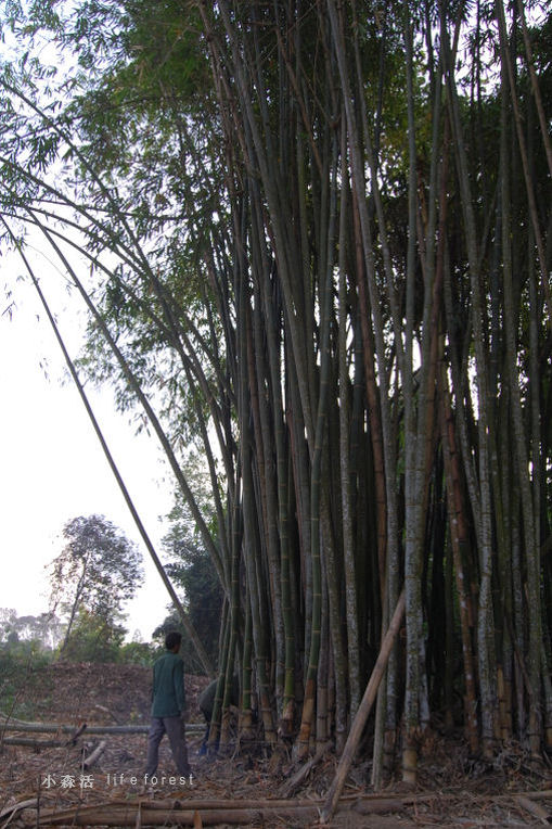 bamboo1a