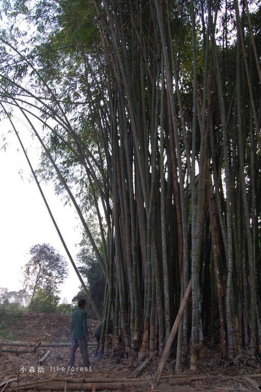 bamboo1a