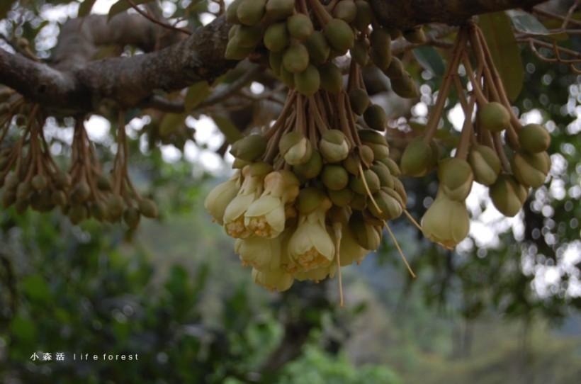 Durian flowers are borne along branches.