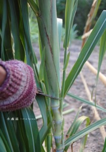 sugarcaneflower1